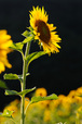20100719_sunflower.jpg
