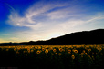20100721_sunflower_field.jpg